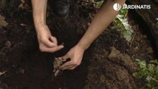 Cómo plantar bulbos de dalias en el jardín