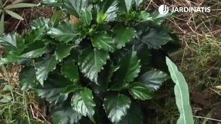 Trasplante de hibisco en el jardín