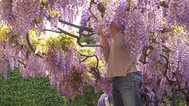 Cómo podar la wisteria o glicina