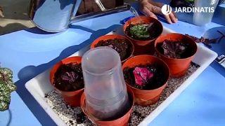 Cómo reproducir la Begonia Rex por esquejes de hojas