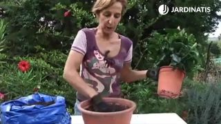 Trasplante de hibisco en la maceta