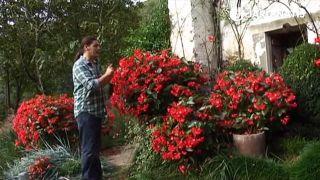 Contenedores de la begonia dragon wing