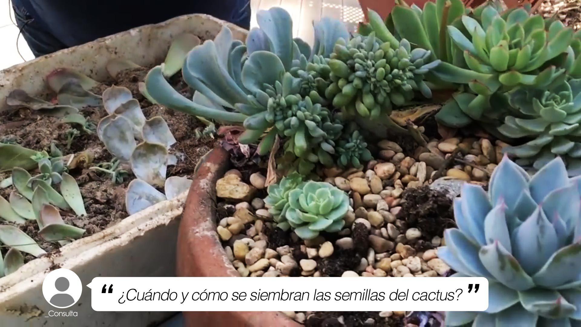 ¿Cuándo y cómo se siembran las semillas de los cactus?