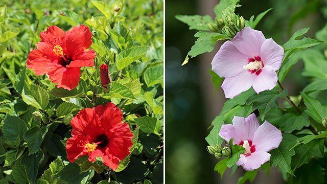 Cuidados del hibisco en el jardín