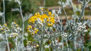 flor amarilla de la Cineraria marítima