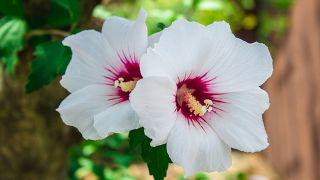 Flores del hibisco de color blanco y rosa