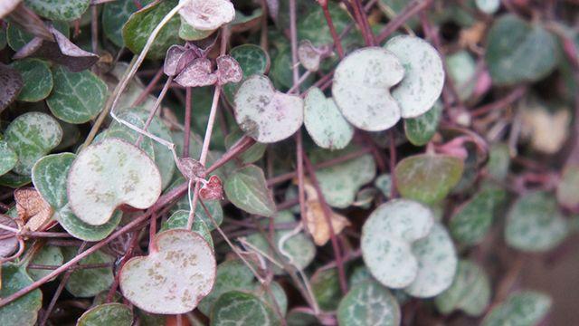Plantas con hojas en forma de corarazón