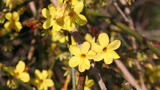 Jasminum nudiflorum o jazmín de invierno