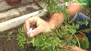 Plantación del jazmín officinalis