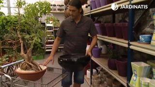 Plantación en contenedor de la Cussonia spicata