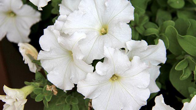 Petunias blancas bajo un árbol