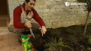 Plantación de la wisteria o glicina - paso 2