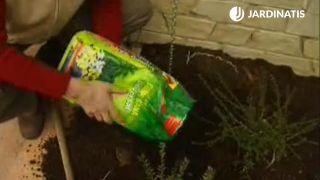 Plantación de la wisteria o glicina - paso 1