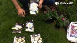 Plantación de dalias en el jardín