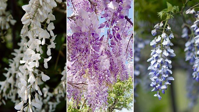 Flores de la wisteria