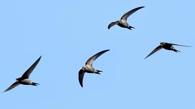 Grupo de vencejos volando