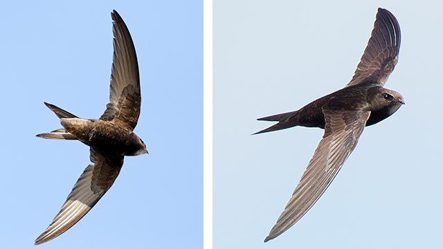 Vista del vencejo volando desde dos ángulos diferentes