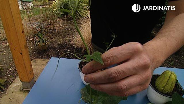 Cómo cultivar chayotes