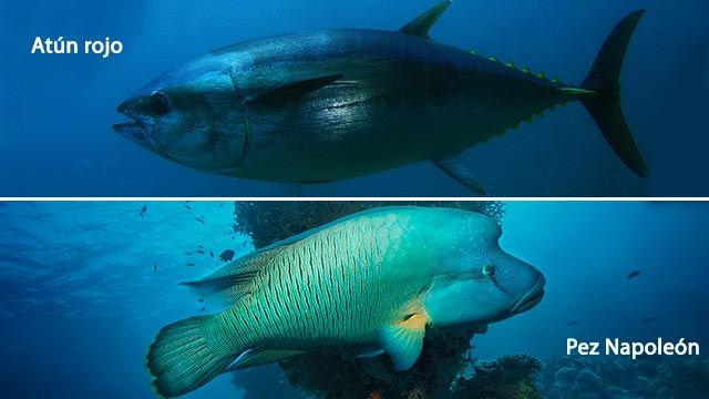 El atún rojo y el pez Napoleón