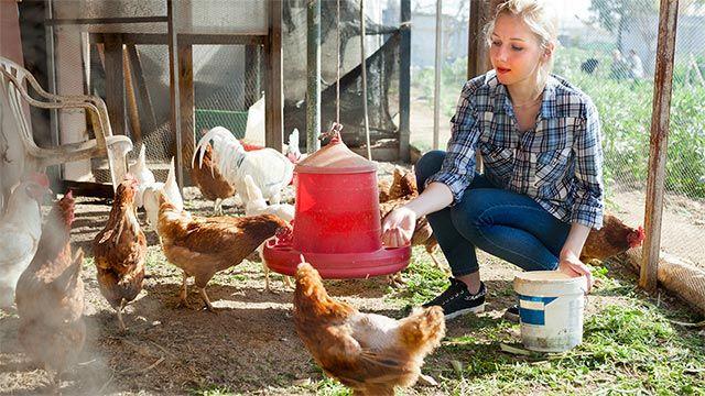 Chica dando de comer a sus gallinas