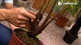 raíces de la Cyathea cooperi