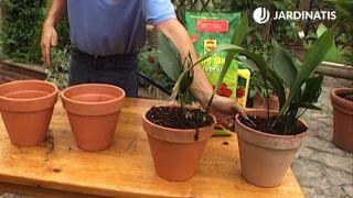 Dos nuevas plantas de aspidistra