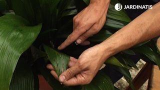 Ataque de babosas en las hojas de la aspidistra