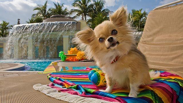 Perro feliz en la terraza de una piscina