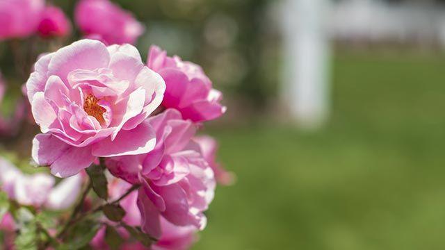 Exposición de los rosales en verano