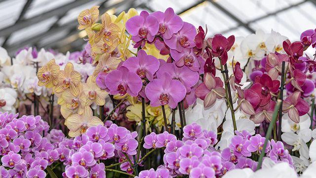Orquídeas para regalar a domicilio