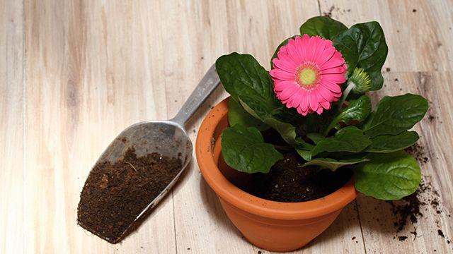 cuidados de la gerbera en el hogar