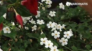 Plantación de bacopas en jardinera