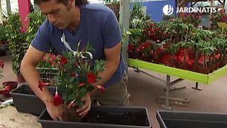 Plantación de dipladenias en jardinera