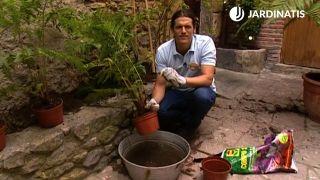 Plantación de la Cyathea cooperi
