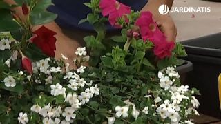Plantación de petunias en jardinera
