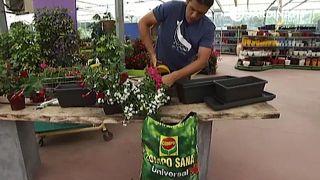 Plantación de petunias, dipladenias y bacopas en jardinera
