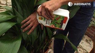 Producto anti limacos para el mantenimiento de la aspidistra