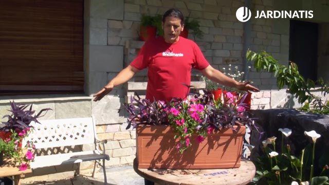 Tradescantias purpureas, surfinias y mandevillas en jardinera