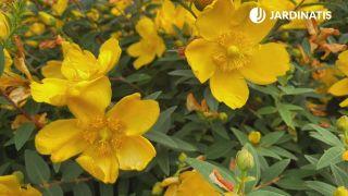 Flores amarillas del Hypericum calycinum