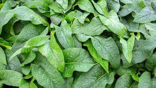 Consuelda, planta medicinal antiinflamatoria y cicatrizante - Compresas