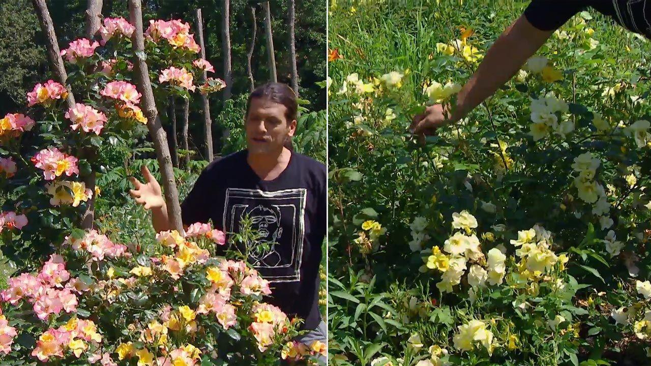 Dos variedades de rosales mutabilis