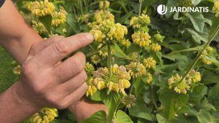 Esferas de floraciones de Phlomis russeliana