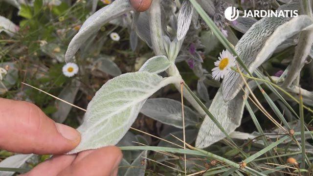 Pelitos en las hojas de la Stachys lanata