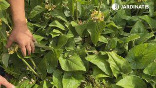 Hojas verdes del Phlomis russeliana
