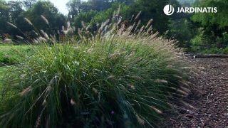 Tamaño de Pennisetum alopecuroides 'Chinese fountain grass'