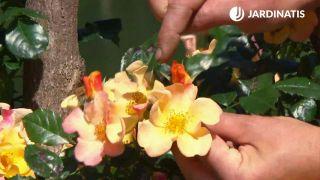 rosal Mutabilis Eclat de rire