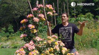 El rosal Mutabilis Eclat de rire