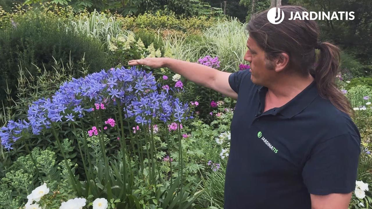 El Agapanthus florece en verano