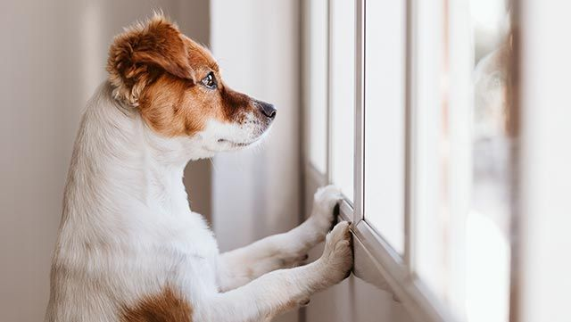 Perro esperando a su dueño desde la ventana