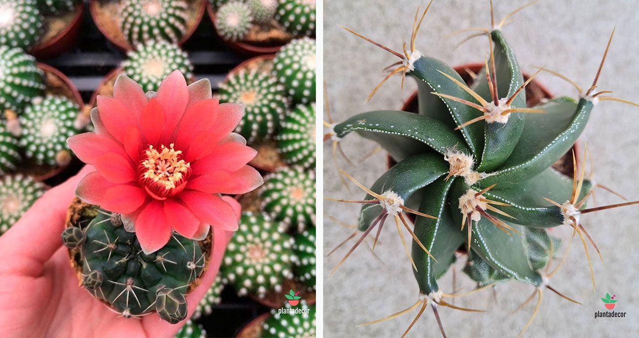Cactus Gymnocalycium Baldianum y Cactus Astrophytum Ornatum